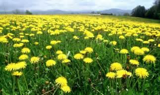 dandelion for health picture 14