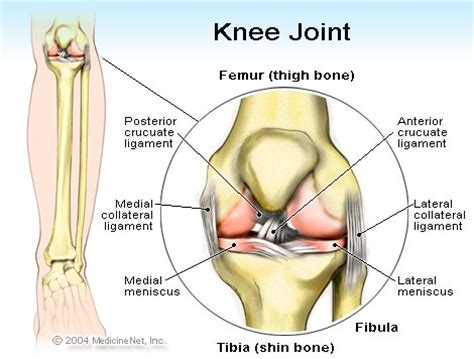 muscles around the knee joint picture 11