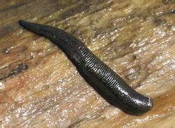 medical live leeches on penis picture 7