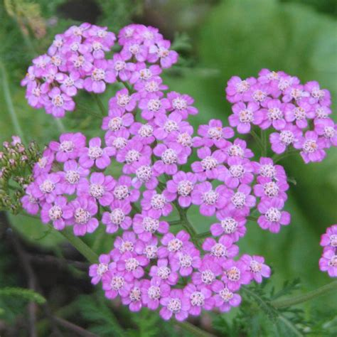 cut back yarrow picture 1