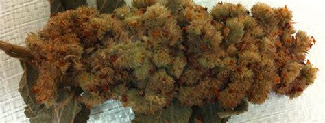 buy herbal haze online picture 5