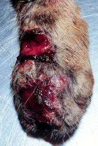 feline skin disease picture 1