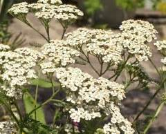 yarrow and herpes picture 13