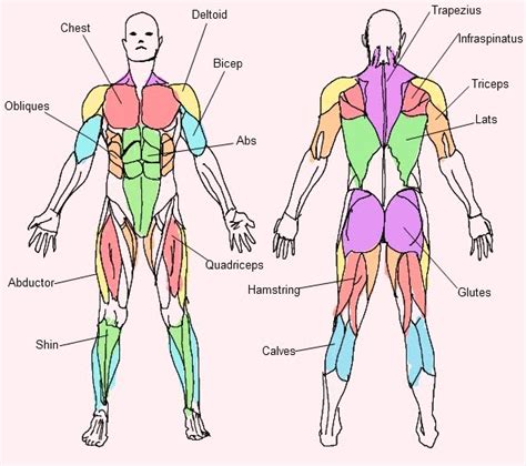 muscle chart picture 1