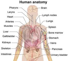 where is the liver located in a human picture 6