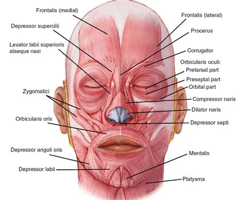 facial anatomy lips picture 21