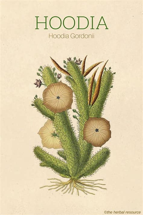 hoodia for weight loss picture 2