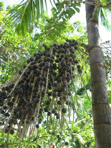 acai berry tree picture 5