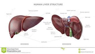 how many lobes are in the human liver picture 5