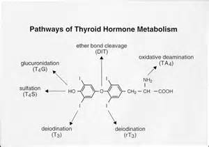 thyroid metabolism picture 3