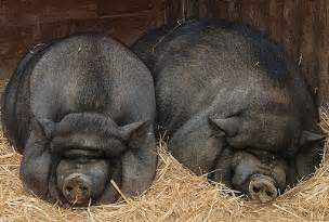 liver cancer in potbellied pig picture 5