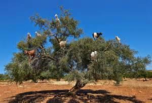argan tree fruit picture 7