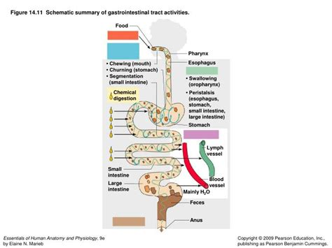 gastrointestinal tract activities picture 7