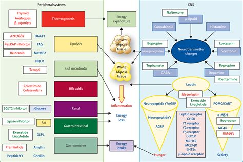 mechanism of actions of anti obesity drugs picture 13