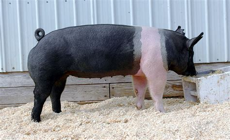 putting weight on show pigs picture 7