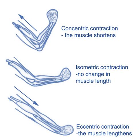 isometric and isotonic muscle contraction picture 6