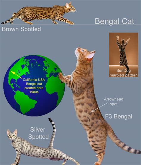 bengal cats information on diet picture 3
