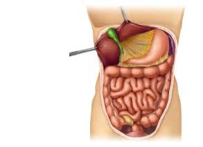 bladder attaached to intestines picture 6