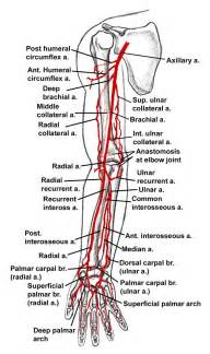 upper extremity of blood circulation picture 6