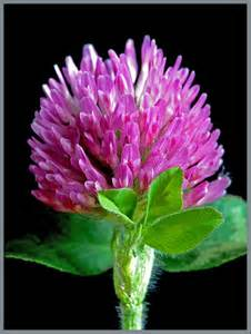 red clover plant picture 11