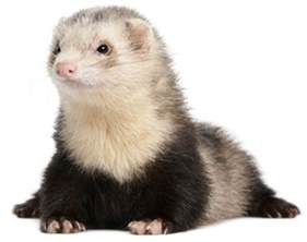 ferret digestion picture 11