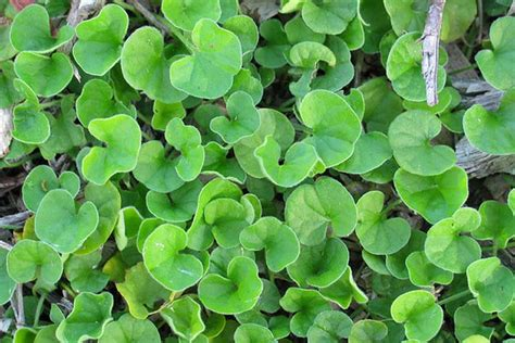 chickweed leaf picture 15