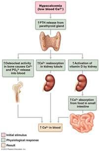 para thyroid hormone picture 2