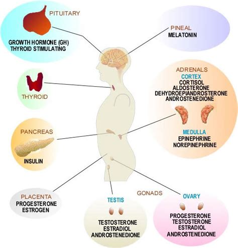 hormones picture 6