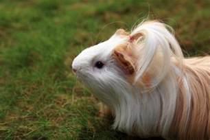 breast actives guinea pig picture 14
