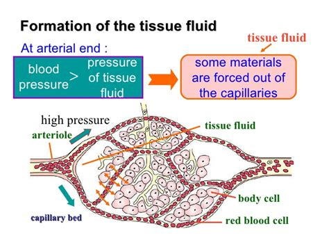 diagram of blood flow picture 6