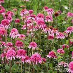 echinacea purpurea razzmatazz pbr picture 2