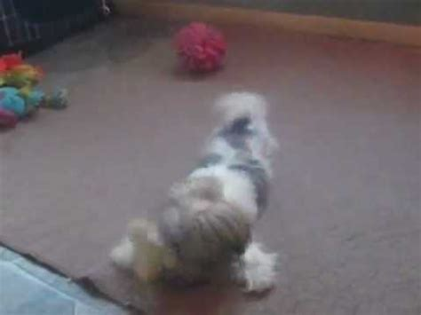 yorkie liver problems picture 3