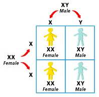 how many sex chromosomes does a human male liver cell have picture 6