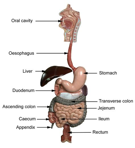 anatomy and physiology of colon ppt picture 12