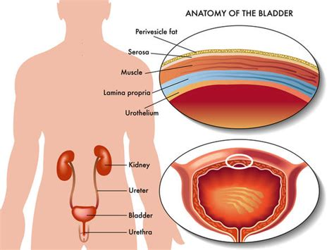male bladder picture 1