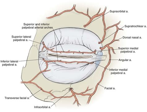 ciliary muscle picture 17