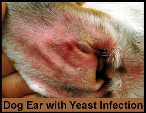 yeast infection transferable from pets to people picture 3