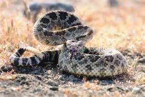 mexican rattlesnake pills bad for you picture 1