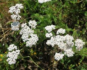 yarrow care picture 13