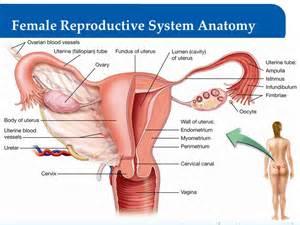 penis in vagina diagrams? picture 2