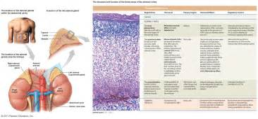 high testosterone adrenal gland picture 14