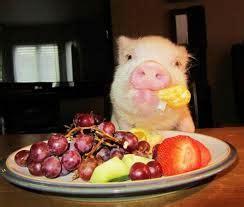 adding liquid fat to show pig diet picture 10