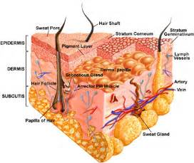integumentary system skin model picture 9