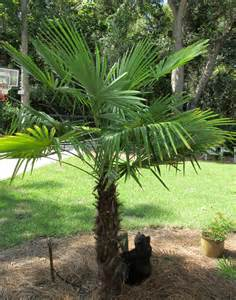 saw palmetto picture 14