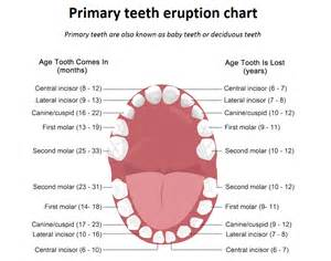primary teeth eruption picture 6
