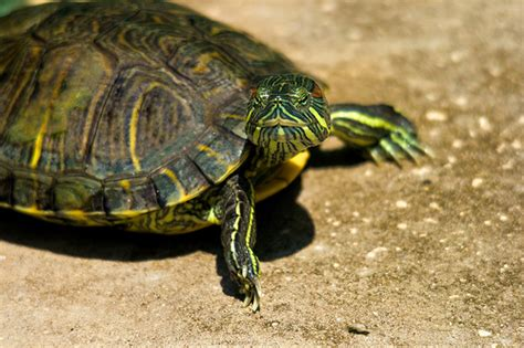 diet of the river cooter turtles picture 16