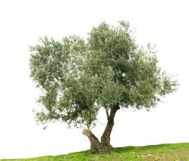 olive oil diet picture 6