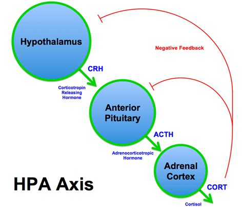 aging and adrenal cortex picture 10