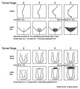 pic of penis stages of development picture 15