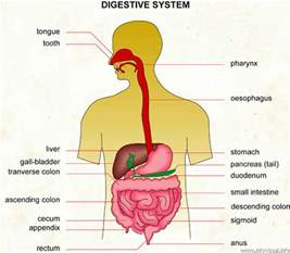 digestion system picture 2